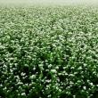 蕎麦の花が満開に