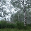 霧の白樺林