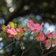 花水木の花を