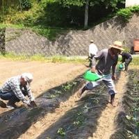 【関西中国】中坪・サツマイモ苗植え