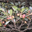 モッコク 木斛