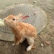ウサギ島へ渡る。