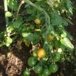 ミニトマトやしし唐、初収穫!