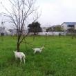 武蔵境 山中南公園前の山羊さん パート7