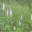 長野県諏訪郡下諏訪町にある八島湿原では、ホオアカにも出会いました