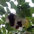 大阪・交野市のブドウを求めて・・・。