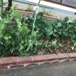 デイサービスの野菜作りです🥦