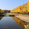 国営昭和記念公園のイチョウが見頃です!