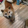 ワンコの躾☆甘やかしの美学!?で、こんなになりますの☆ 柴犬・空海くんは誰に似たの?