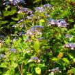 倉敷安養寺の紫陽花1