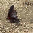 黒いチョウ