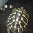 ニシヘルマンリクガメの孵化仔が産卵