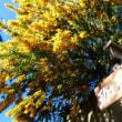 『季節の花』 ミモザの笠