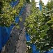 カタシモワイナリー・メルロー収穫