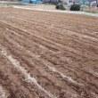 麦成長中!プチヴェールは収穫のタイミング