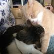 猫たちとキャンプに行けなかったので家で『アヒージョ』【猫日記こむぎ&だいず】2017.10.15