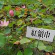 9月16日 活動報告 ③ ヒガンバナとハスの開花状況