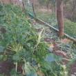 茎ブロッコリーにサル入る