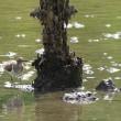 水の深めの所も、ひと回りするイソシギ。