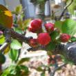 19-04-21 木瓜(ボケ)紅白