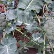 ブロッコリー初めて植えてみました