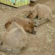須坂市動物園 (長野県須坂市)カピバラ神社もあるよ
