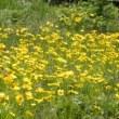 こちらの川原にもオオキンケイギクの花が群れて