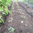 キャベツ植えました。