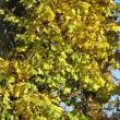 イチョウ並木に冬が来た。