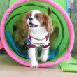 幼稚園体験にきてくれた【アポロくん】  犬のしつけ教室@アロハドギー