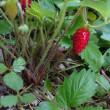 ワイルドストロベリーはまだ収穫あり