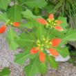 「おはようの花」 猩猩草(しょうじょうそう) 8月