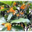本格的な秋の花(^^♪月には木犀の大木が茂っていると言われる中国の伝説の木「きんもくせい(金木犀)」