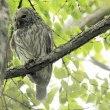 今日の鳥 オオアカゲラ クロツグミ エゾフクロウ ヤマガラの子育て