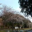 桜 開花❗