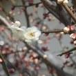 梅はまだ三分咲き