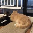 初秋の穏やかな2匹の猫【猫日記こむぎ&だいず】2018 09 19