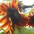 46品種のヒマワリの花