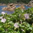 ハマヒルガオ:浜昼顔(山陰海岸で①)