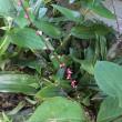 半夏生と水引 ~亡き母の植えた和花~