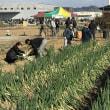 JAみやぎ仙南ねぎ部会で初めて「ねぎ収穫祭」を開催!