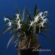 富貴蘭「天の川」の花