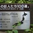 福島県喜多方市、塩川町中屋沢杓子ヶ入のメグスリノキです!!