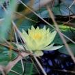 睡蓮の花:安曇野市三郷室山