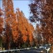 見沼の秋・ メタセコイヤの並木道・