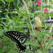 蝶々の孵化