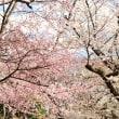 飛鳥山公園の桜開花状況