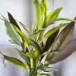 新入り観葉植物〜ドラセナ