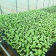 ブロッコリー、キャベツ播種