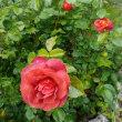 薔薇が次々と・・・・